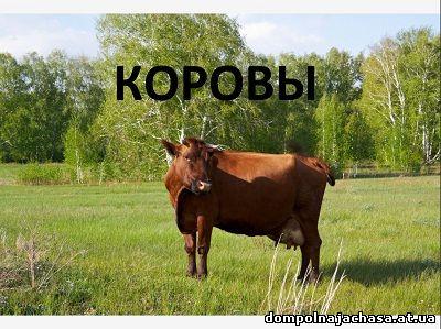презентация коровы