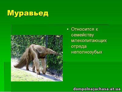 презентация Муравьед