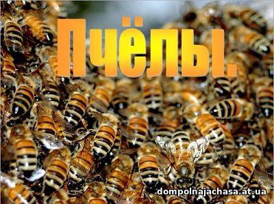 презентация Пчелы